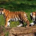 Тигрята - Cubs