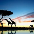 Жирафы и слоны на фоне природы - Giraffes and elephants on a background of nature