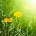 Одуванчики - Dandelions