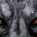 Глаза волка - Wolf eyes