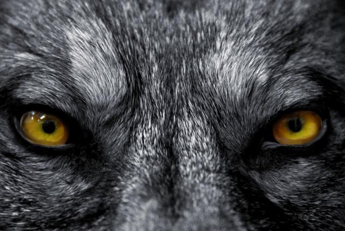 photodune 1271582 eyes of wolf m11 Глаза волка   Wolf eyes