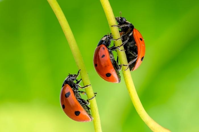 photodune 4091062 ladybug l Божьи коровки   Ladybugs