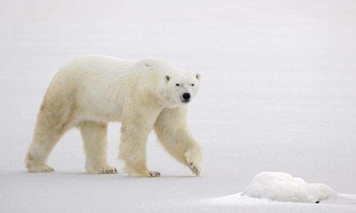 shutterstock 71694334 Белый медведь   Polar bear
