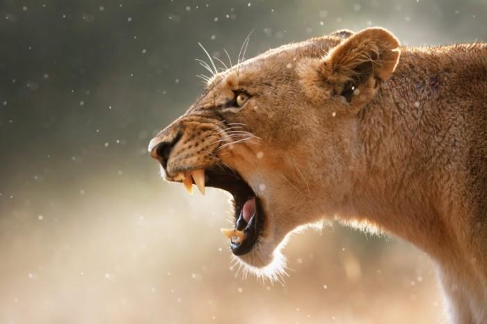 photodune 1049992 700x465 Пасть льва   Lions mouth