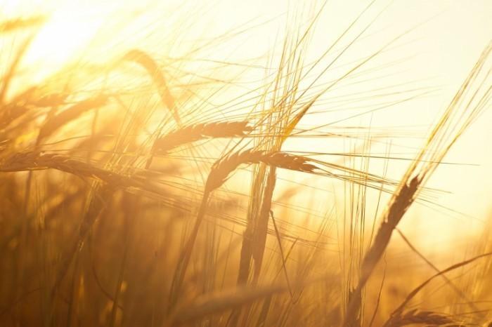 photodune 5298865 700x466 Пшеничное поле   Wheatfield