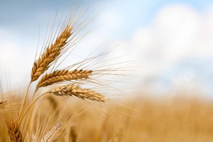photodune 598931 700x466 Колос пшеницы   Ear of wheat