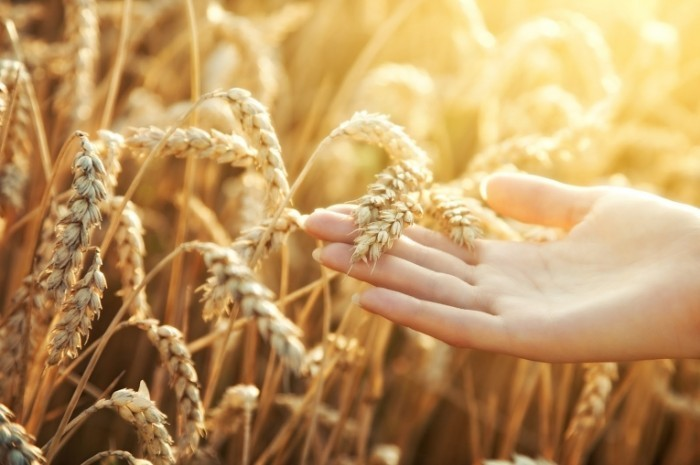 Fotolia 22817362 M1 700x465 Колосья пшеницы   Ears of wheat