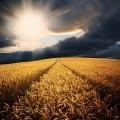 Рассвет на пшеничном поле - Dawn on the wheat field