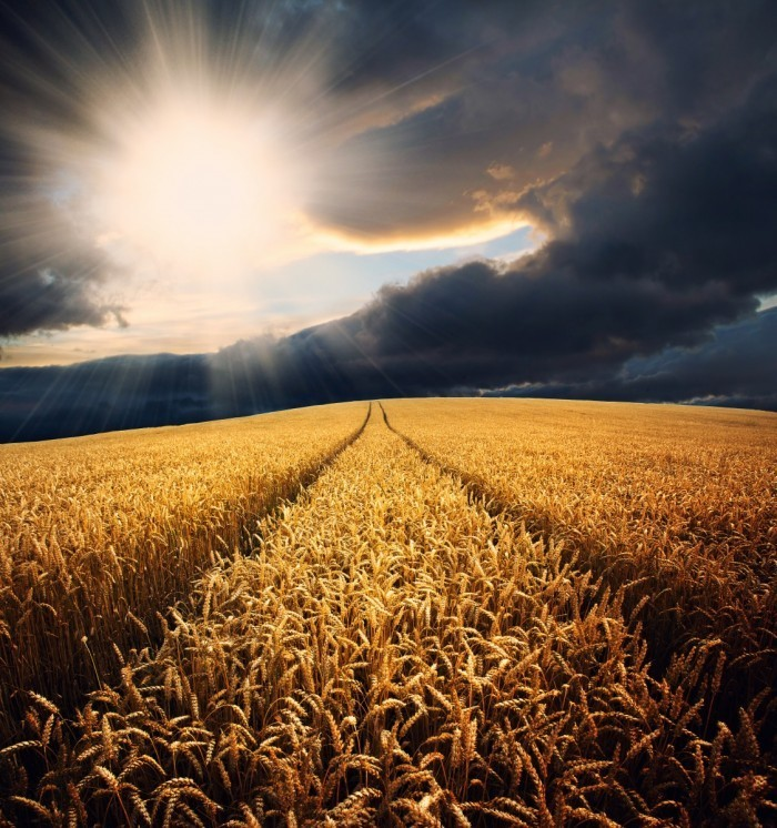 Fotolia 43549016 XL 700x746 Рассвет на пшеничном поле   Dawn on the wheat field