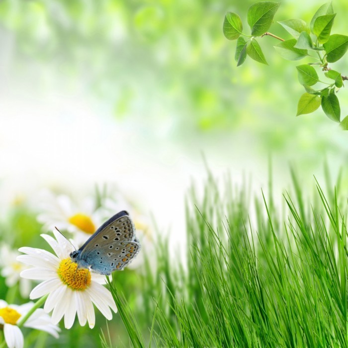 shutterstock of natural shares 700x700 Бабочка на ромашке   Butterfly on a daisy