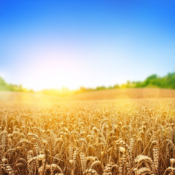 shutterstock 135434924 700x700 Пшеничное поле   Wheatfield