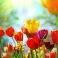 Разноцветные тюльпаны - Tulips