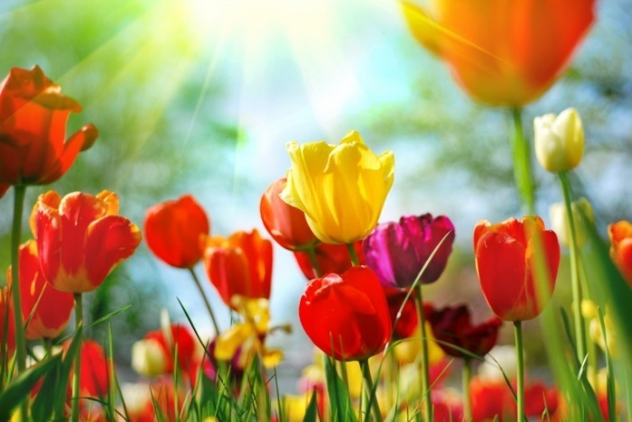 Fotolia 12856836 Subscription XL 700x468 Разноцветные тюльпаны   Tulips