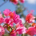 Розовые кусты - Rosebushes