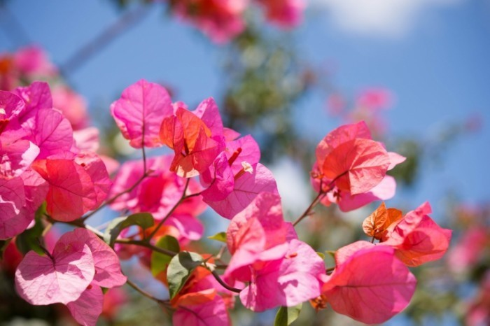 Fotolia 64042345 Subscription Monthly M 700x466 Розовые кусты   Rosebushes