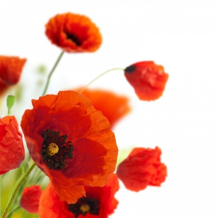 flower 700x700 Маки   Poppies