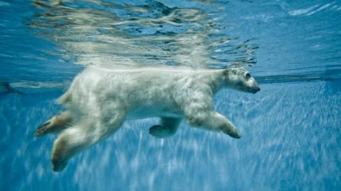 l shutterstock polar bear 1200x675 700x393 Белый медведь под водой   Polar bear underwater