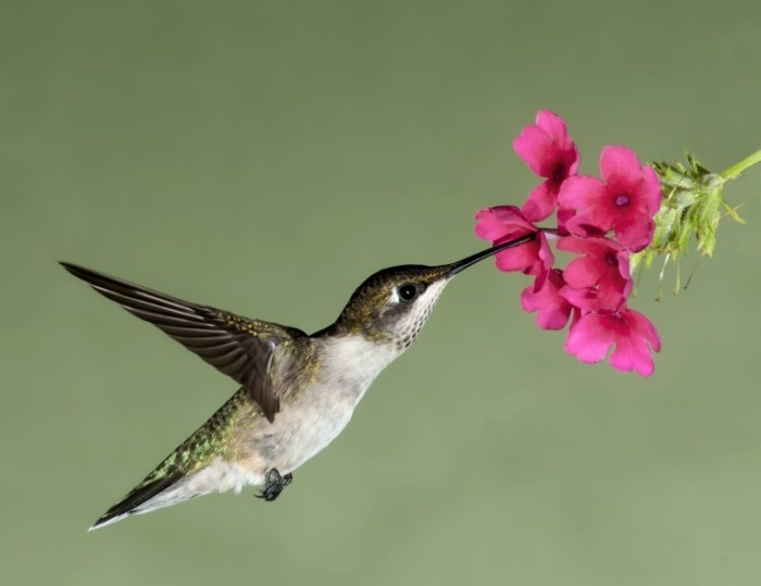 shutterstock 58968394 700x539 Птичка с цветком   Bird with flower