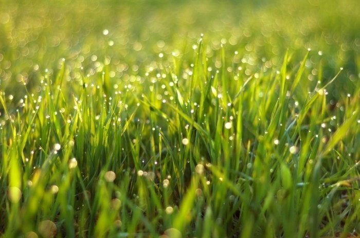 Fotolia 14006515 M 700x464 Трава в росе   Grass with dew