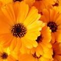 Оранжевые цветы - Orange flowers