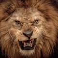 Морда льва - Muzzle of a lion