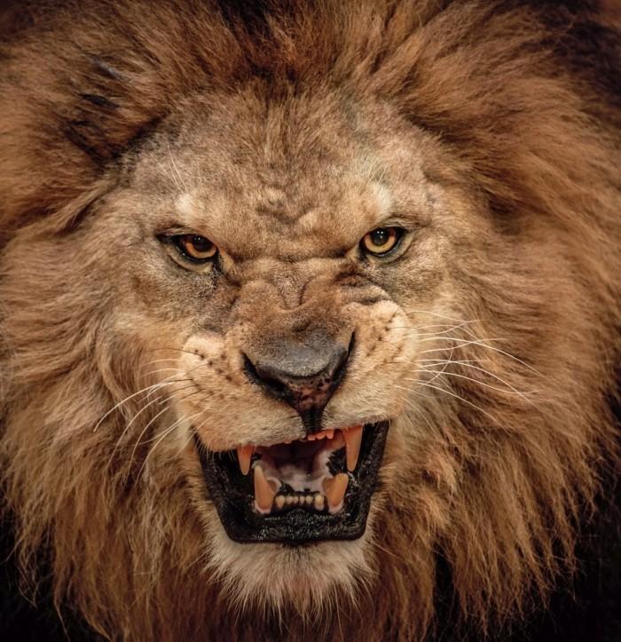 Lion Pic shutterstock 128702168 700x723 Морда льва   Muzzle of a lion