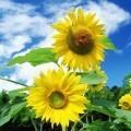 Желтые подсолнухи - Yellow sunflowers