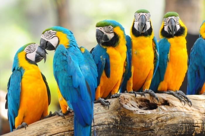 colourful macaw 700x464 Попугай   Рarrot