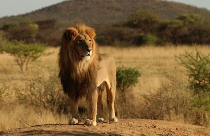 lion shutterstock 700x455 Лев   Leo