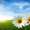 Ромашки в поле - Daisies in the field