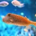 Золотая рыбка - Goldfish