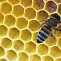 Пчела в сотах - Bee comb