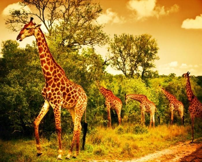 shutterstock 111387554 700x560 Жирафы   Giraffes