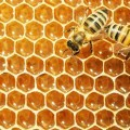 Мед в сотах и пчела - Honey comb and a bee