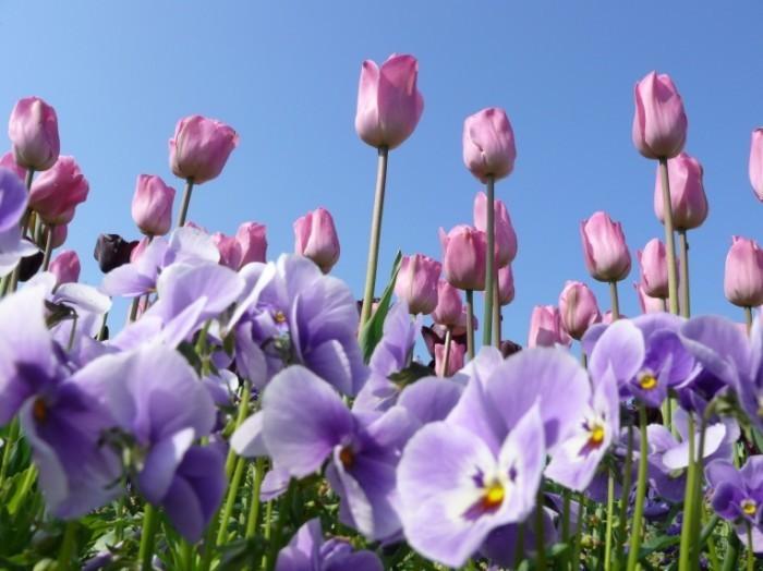 shutterstock 21866326 700x524 Тюльпаны   Tulips