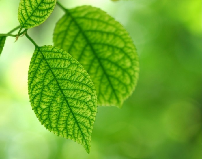 shutterstock 8232145 700x553 Зеленые листья   Green leaves