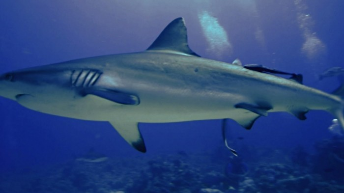 stock footage grey reef shark red sea 700x393 Акула в воде   Shark in the water