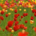 Поле тюльпанов - Field of tulips