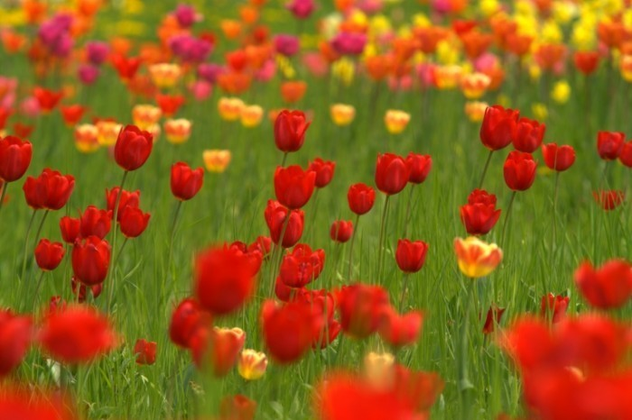 Fotolia 1688005 Subscription L 700x466 Поле тюльпанов   Field of tulips