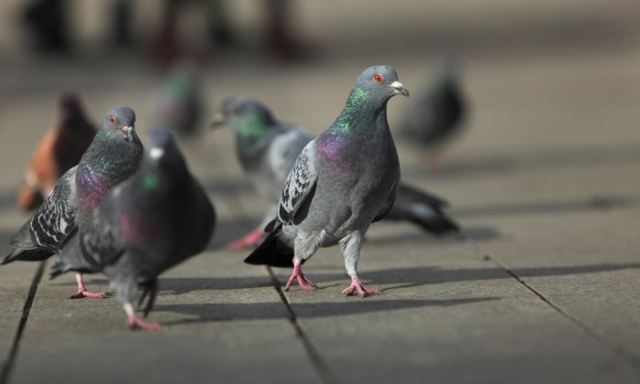 Fotolia 27137061 Subscription Monthly XXL2 700x420 Голуби   Pigeons