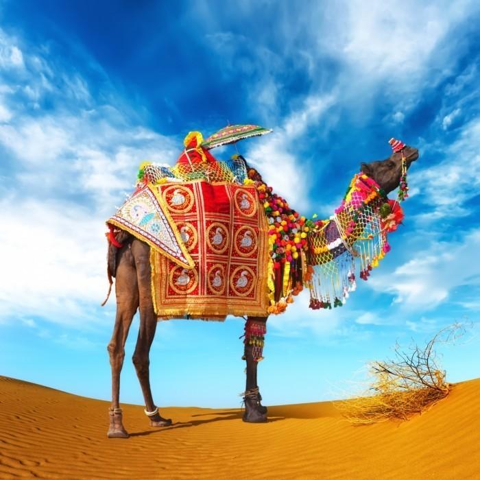 shutterstock free image of the week camel in fancy dress 700x700 Верблюд   Сamel
