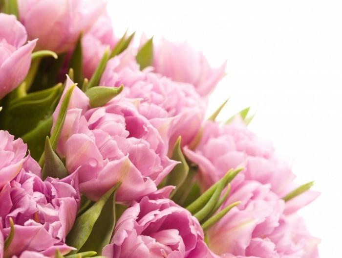 shutterstock tulips 700x527 Тюльпаны   Tulips