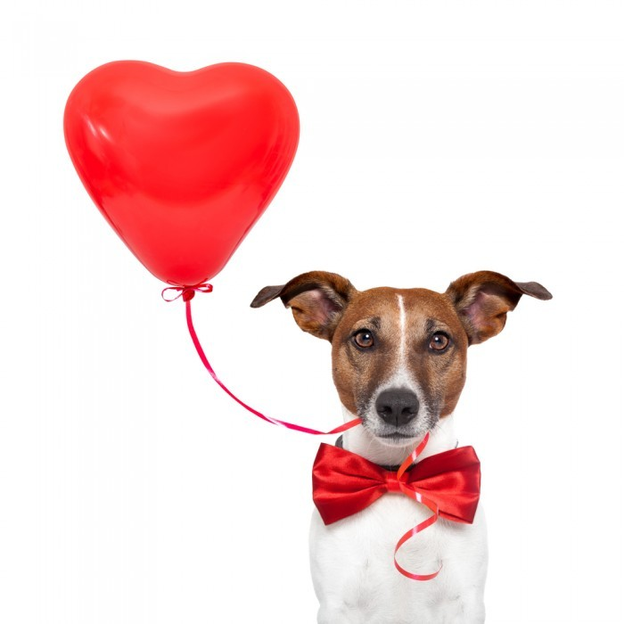 shutterstock 104806148 700x700 Собака с сердцем   Dog with heart