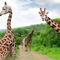Жирафы - Giraffes