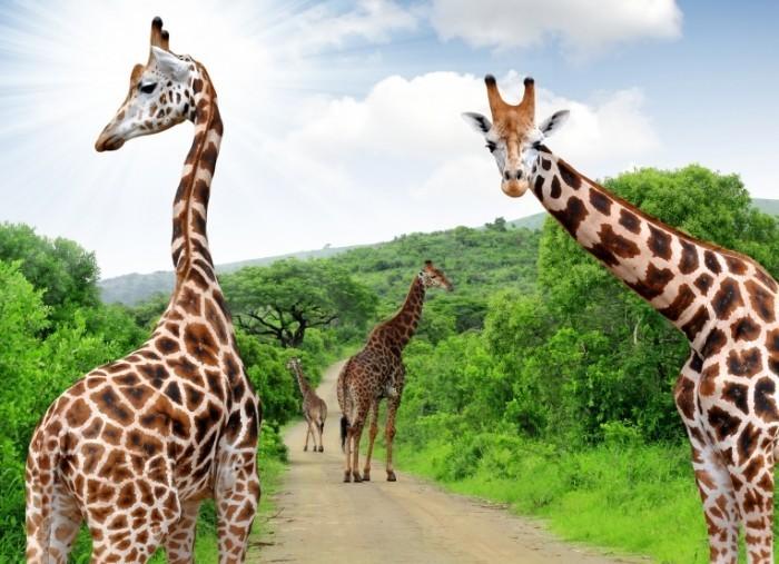 shutterstock 121889923 700x507 Жирафы   Giraffes
