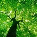 Крона дерева - Coma