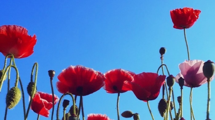 stock footage poppy flowers on the spring field blue sky wind and sun light nature background hd video footage 700x393 Цветы мака   Poppy flowers
