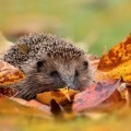 Еж в листьях - Hedgehog in the leaves