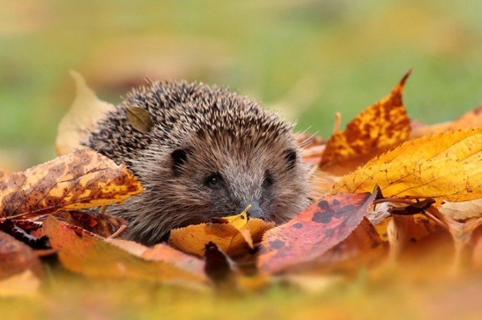 Autumn Hedgehog 1 700x465 Еж в листьях   Hedgehog in the leaves