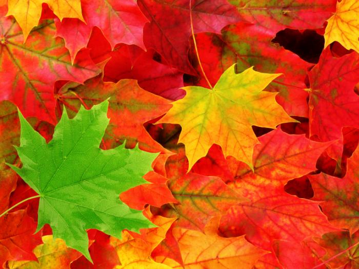 Autumn 1405605211 700x524 Листья клена   Maple Leaves